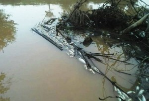 Diduga Tercemar Limbah, Ribuan Ikan Di Sungai Sekampung Mati