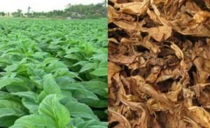 Mesuji Kembangkan Budidaya Tembakau Seluas 15 Hektar