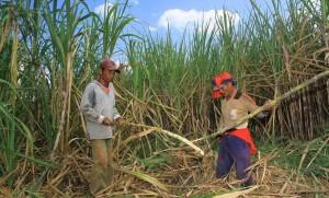 Petani Tebu Tolak Impor Gula