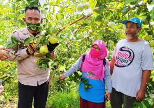 Jambu Kristal Tanjungrusia, Agrowisata Baru Di Pringsewu