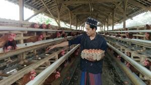 YBM BRI Berdayakan Pesantren Untuk Budidayakan Ayam Petelur
