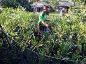 Seorang Petani Di Tulangbawang Tanam Kurma Seluas 2,5 Hektare