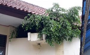 Waduh..! Beringin Liar Tumbuh Tutupi Atap Kantor Di Komplek Pemkab Lamtim