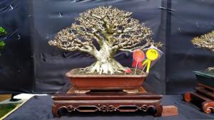 Kontes Tingkat Nasional, Dua Bonsai Bos Rumah Kayu Top 10 Kelas Utama