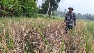 Hama Wereng Serang Tanaman Padi Di Kotaagung Timur