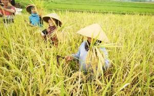 Ribuan Hektare Sawah Di Rawa Jitu Utara Siap Panen